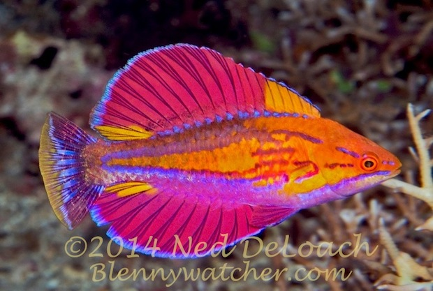 Wrasse in Alor region Ned Deloach Blennywatcher.com