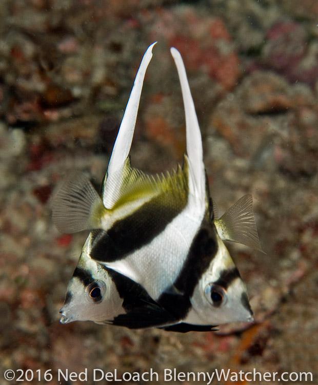 Juvenile Longfin Bannerfish