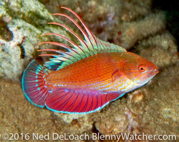Anilao Portfolio: Scarlet-fin Flasherwrasse, Paracheilinus lineopunctatus