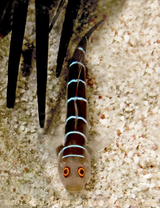 Ninelined Goby, Ginsburgellus novemlineatus Ned DeLoach BlennyWatcher.com