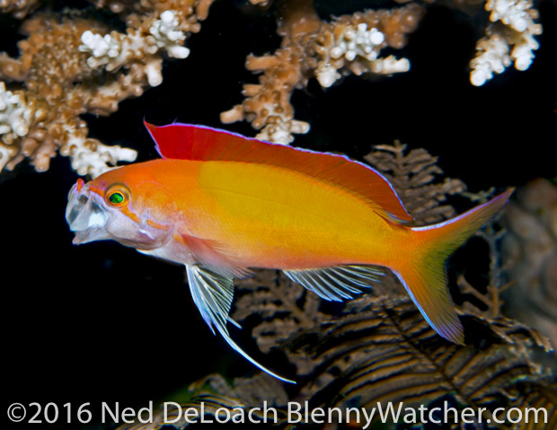 Redfin Anthias yawning