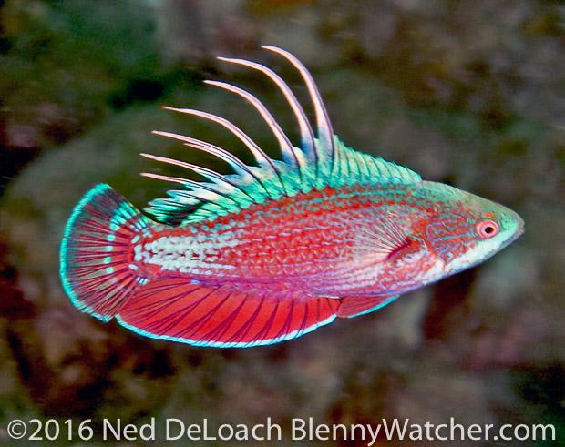Anilao Portfolio: Scarlet-fin Flasherwrasse, Paracheilinus lineopunctatus in courting colors