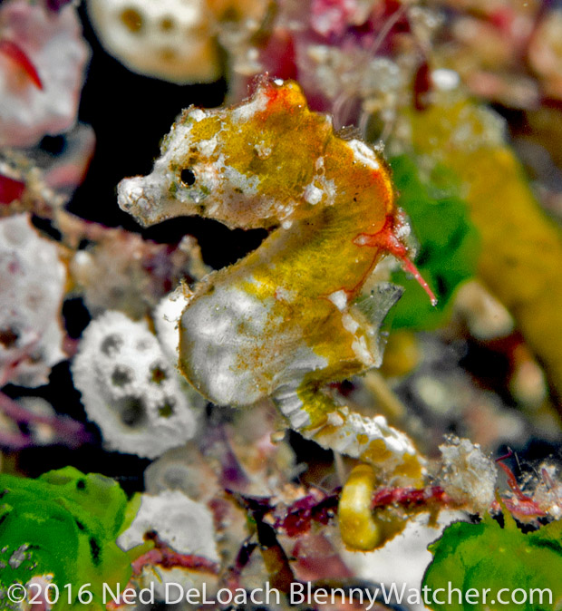 Pontoh's Pygmy Seahorse - light variation