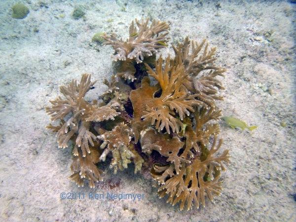 Life List: Acropora prolifera