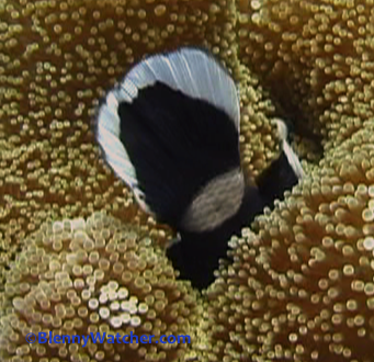 Anemonefish hiding from predatory jack