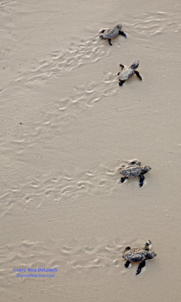 Newly hatched Loggerhead Turtles