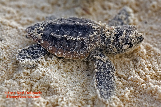 Hatching Sea Turtles