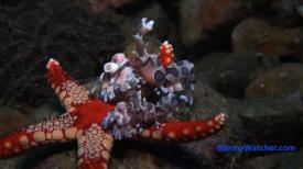 Ambon Harlequin shrimp2