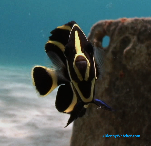 Cute Fish Video: French Angelfish