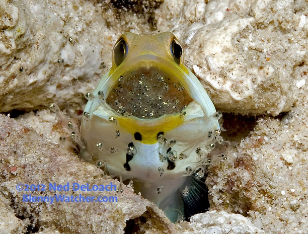 hatching jawfish the blenny watcher blog