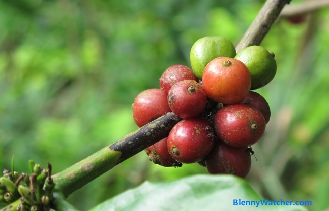 Kopi Luwak … At Last!