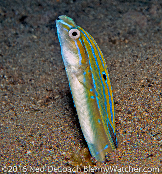 Anilao Portfolio: Snake Blenny, Xiphasia Setifer, a.k..a. Hairtail Blenny