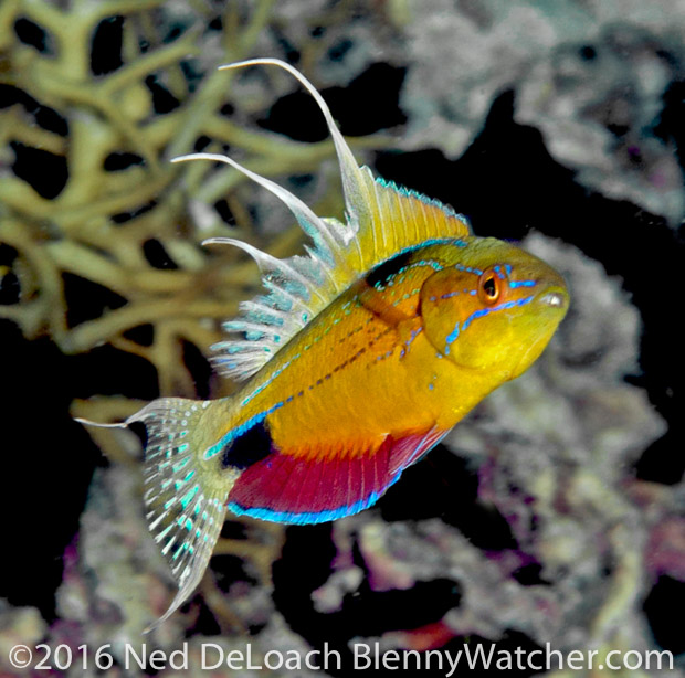 Ambon to Triton Bay: Nursalim Flasherwrasse