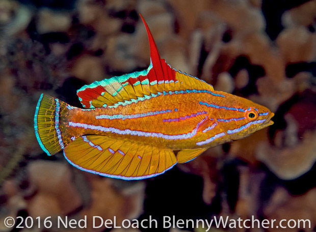 Ambon to Triton Bay: Yellowfin Flasherwrasse