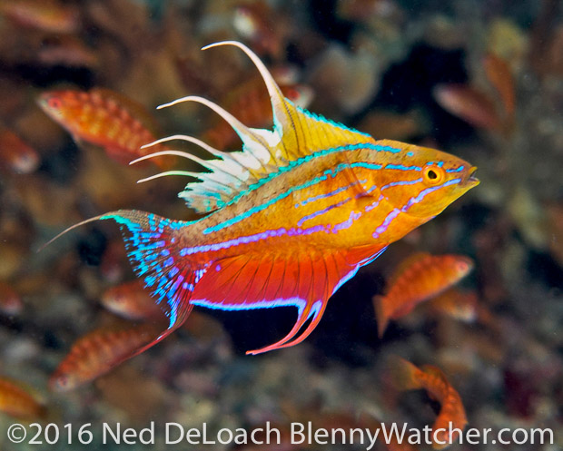 Ambon to Triton Bay: Hybrid Flasherwrasse