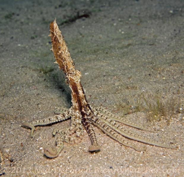 Atlantic Longarm Octopus, Macrotritopus defilippi Ned DeLoach Blennywatcher.com