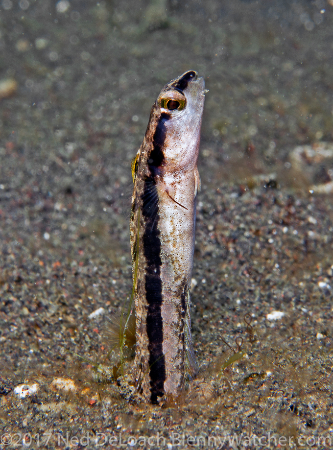 Adelotremus deloachi male from Lembeh