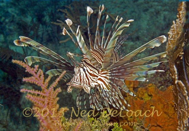Adult Lionfish Ned DeLoach Blennywatcher.com