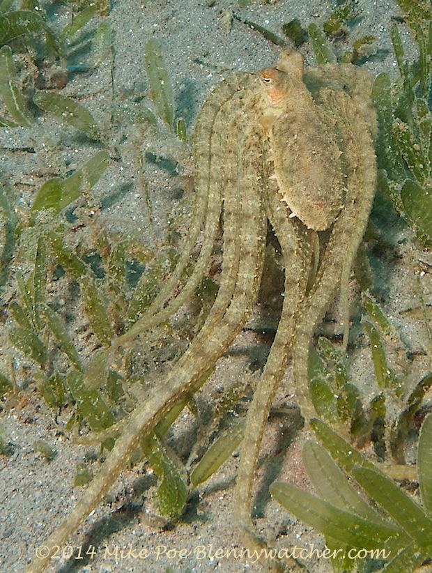 Atlantic Longarm Octopus (Macrotritopus defilippi) Dominica