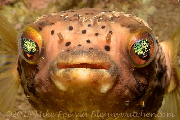 Balloonfish face Mike Poe via Blennywatcher.com