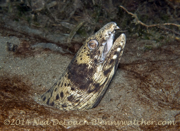 Blackspotted Snake Eel (Ophichthus ophis), - Dominica diving