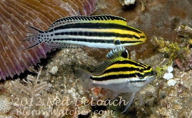 Mimicry: The Blenny and the Bream