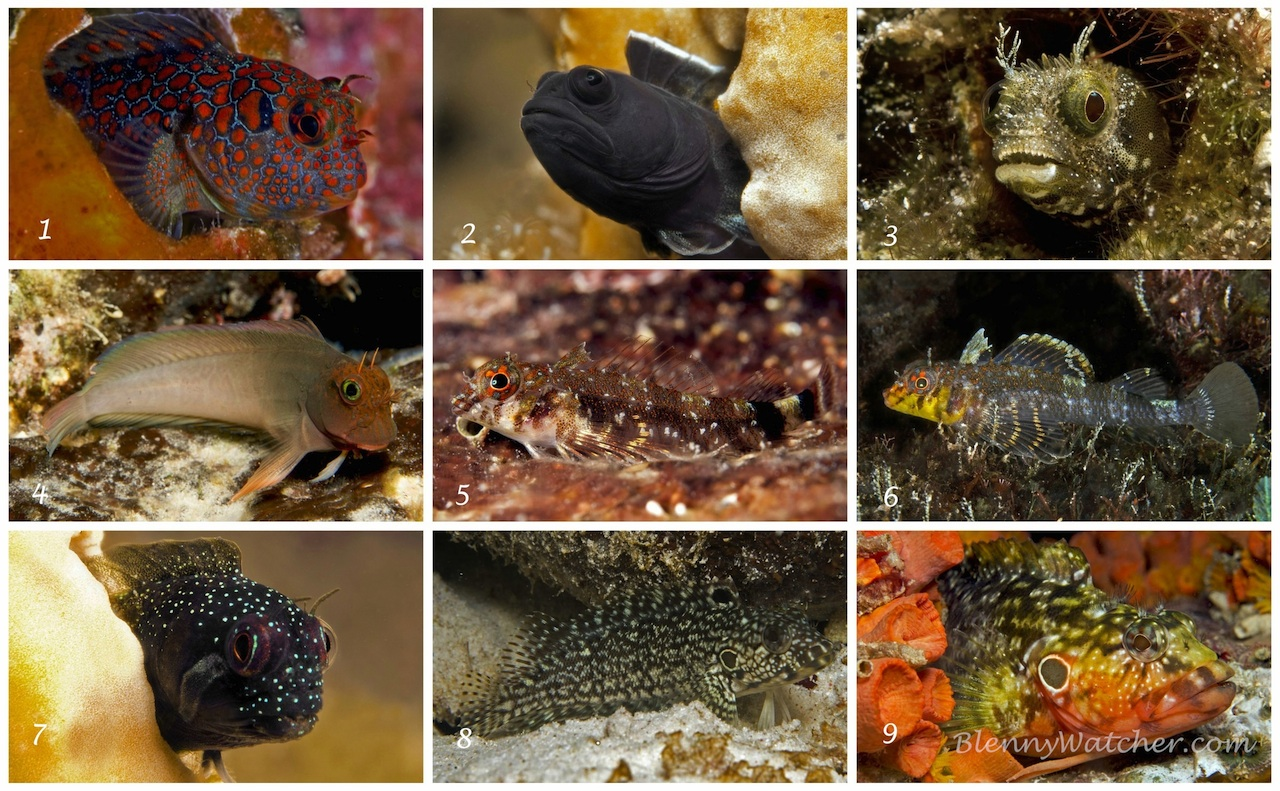 Bonaire Blennies numbered 1 Blennywatcher.com Ned DeLoach load