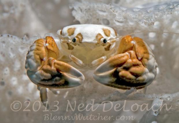 Bryozoan Crab Ned DeLoach BlennyWatcher.com
