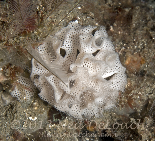 Bryozoan colony Ned DeLoach BlennyWatcher.com