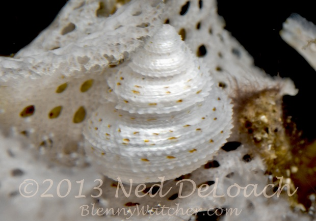 Snail in bryozoan Ned DeLoach BlennyWatcher.com