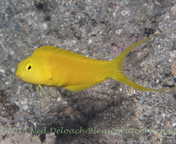 Canary Fangblenny, Meiacanthus oualanensis