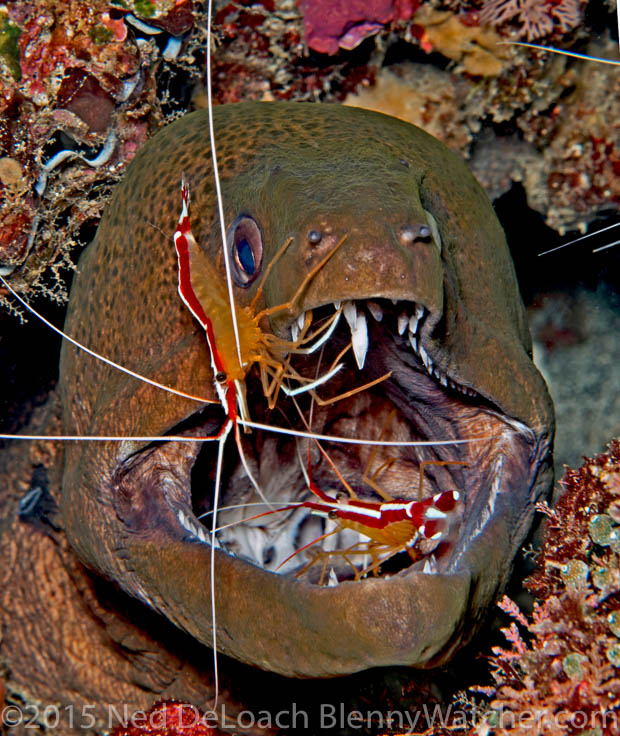 Moray eel being cleaned by shrimp