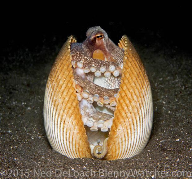 Coconut octopus, Amphioctopus marginatus