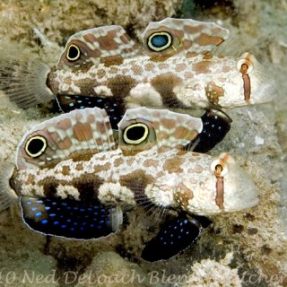More Fishy Cuteness: The Signal Goby
