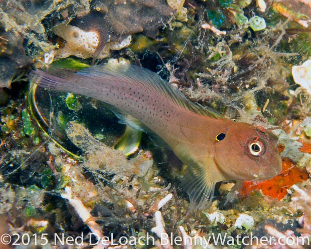 Earred Blenny, Cirripectes auritus