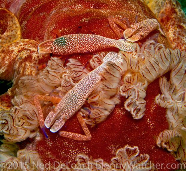 Emperor Shrimp, Periclimenes imperator on a Spanish Dancer nudibranch