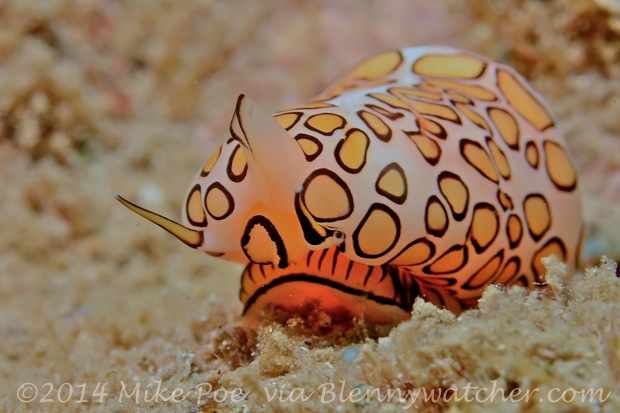 Flamingo Tongue (Cyphoma gibbosum) Mike Poe via Blennywatcher.com