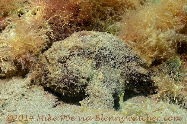 Frogfish Dominica