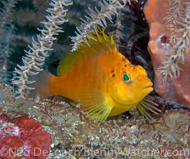 GOLDEN HAWKFISH Cirrhitichthys aureus