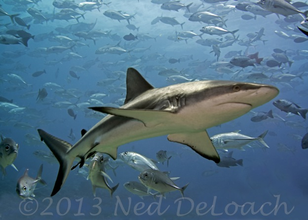 Gray Reef Shark with Bigeye Jacks Ned DeLoach BlennyWatcher.com