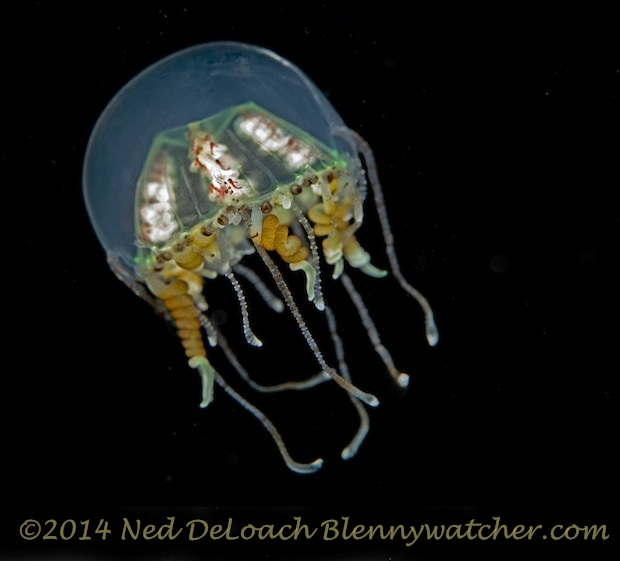 Hydromedusa in open water by Ned DeLoach