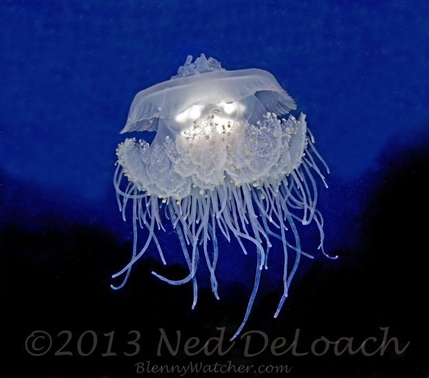 Jellyfish Ned DeLoach BlennyWatcher.com