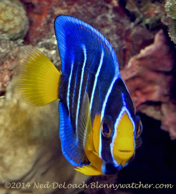 Juvenile Queen Angelfish ( Holacanthus ciliaris) Dominica