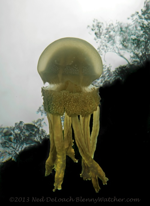 Lagoon Jellyfish Waigeo, Ned DeLoach, BlennyWatcher.com