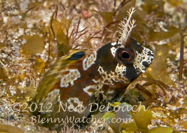 Longhorn Blenny by Ned DeLoach BlennyWatcher.com