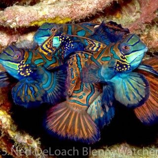 Mandarinfish trio in Lembeh Strait, Indonesia
