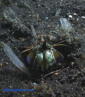 Mantis shrimp from BlennyWatcher.com