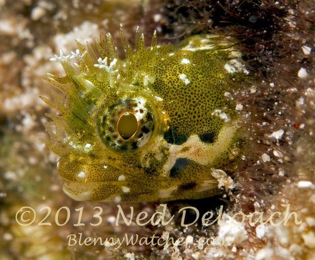 Medusa Blenny Acanthemblemaria medusa Ned DeLoach BlennyWatcher.com