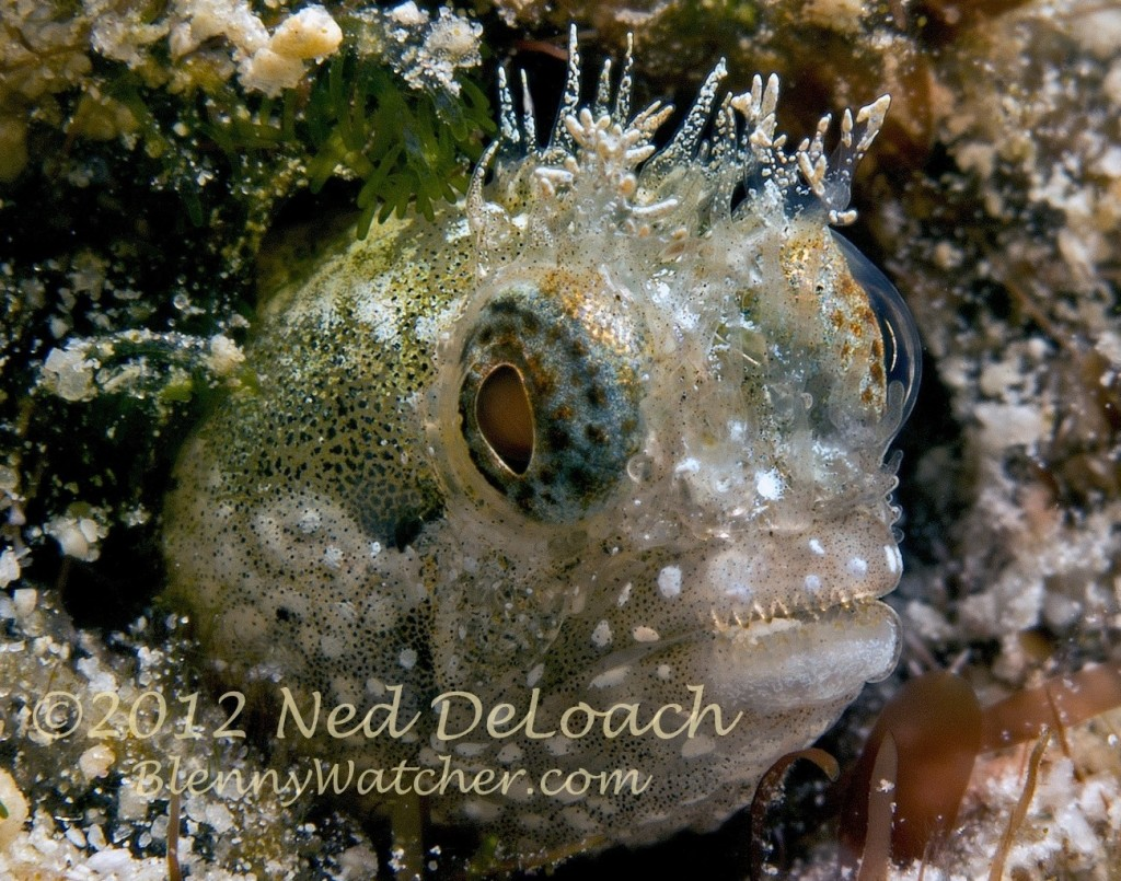 Medusa Blenny Ned DeLoach BlennyWatcher.com