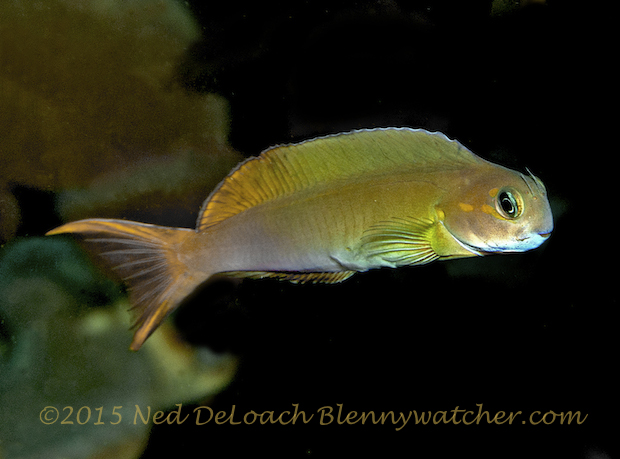 Female Midas Blenny by Ned DeLoach